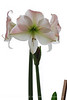 Amaryllis Trio 4 copy