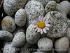 Daisy and beach stones (6)