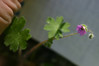 """Small purple flower #1. (Unidentified flowers I have numbered sequentially. Assistance welcome.) We had several pages of lovely color photos--and still encountered flowers at every turn that we either couldn't figure out whether they were a match or couldn't find anything similar at all. (Suggested: Probably nonnative geranium, maybe """"Dove's Foot"""".)"""
