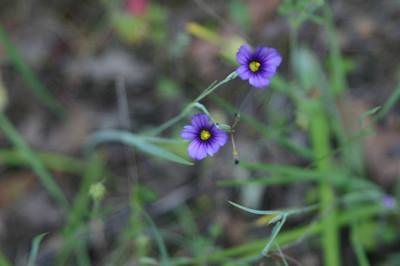 Blue-eyed grass.