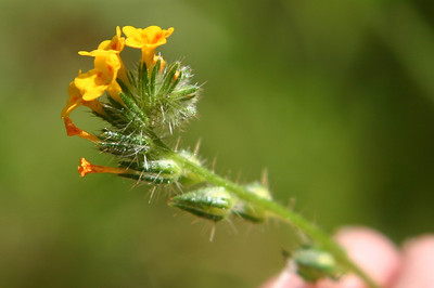 Fiddleneck from the side.