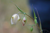 """<a href=""""http://www.friendsofedgewood.org/newsletters/1999/9909/globe.htm"""">Globe Lily</a> (or Fairy Lantern). Good thing we had an experienced leader, or we'd have missed these pale (but fairly large) flowers amid the undergrowth."""