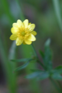 California buttercup. We saw millions of them. And all I managed was one blurry shot? Yeesh. Back to remedial photography 1A.