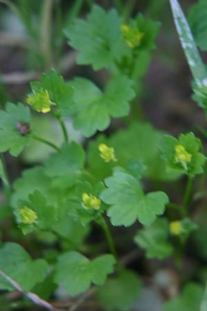 Sierra Azul Wildflower Survey April 2008