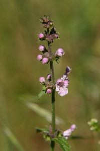 Maybe some kind of horehound. (Small purple #9.)