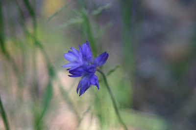 Blue Dicks. Who comes up with these names? (Short for Dichelostemma capitatum.)