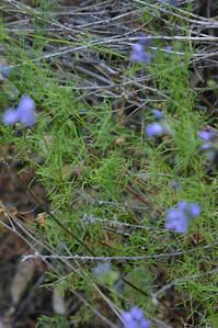 Small purple #6 foliage.