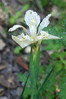 "<a href=""http://en.wikipedia.org/wiki/Iris_fernaldii"">Fernald's Iris. </a> I didn't ask who Fernald was, but it was probably  <a href=""http://en.wikipedia.org/wiki/Merritt_Lyndon_Fernald"">this guy</a>."