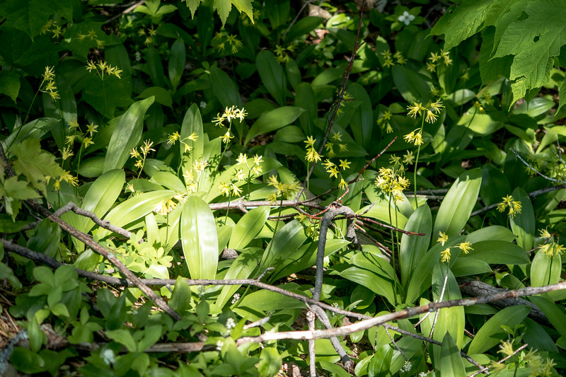 Stand of Clintonia dba blue bead lily