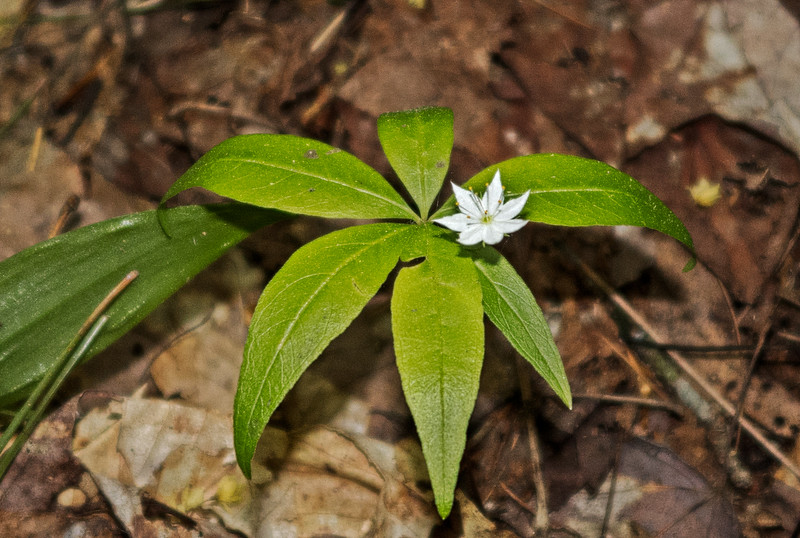 Star flower along trail