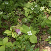 Canada dogwood, pink lady slipper and Canada mayflower