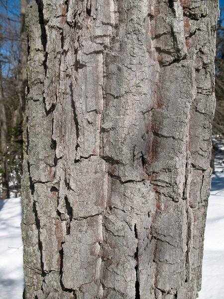 Photo Courtesy of Kevin Rolwing - Chestnut Oak Bark