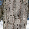Photo Courtesy of Kevin Rolwing - Chestnut Oak Bark