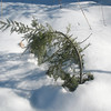 Photo Courtesy of Kevin Rolwing -Hemlock peeking through the snow