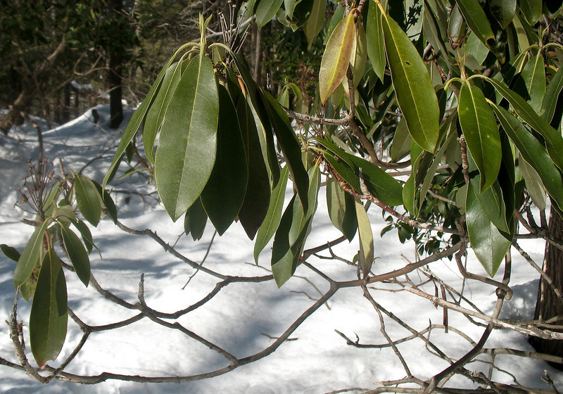 Photo Courtesy of Kevin Rolwing - - Mountain Laurel leaves