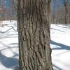 Photo Courtesy of Kevin Rolwing - chestnut oak