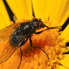 this guy was nice enough to drop in right as I was setting up with a tripod to shoot the flower -- my best fly shot yet.