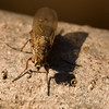 I really like how this one came out, this guy was even smaller than the stand housefly-looking bugs.