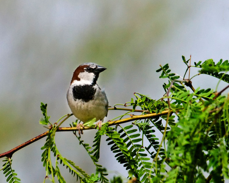 Black-Throated Sparrow