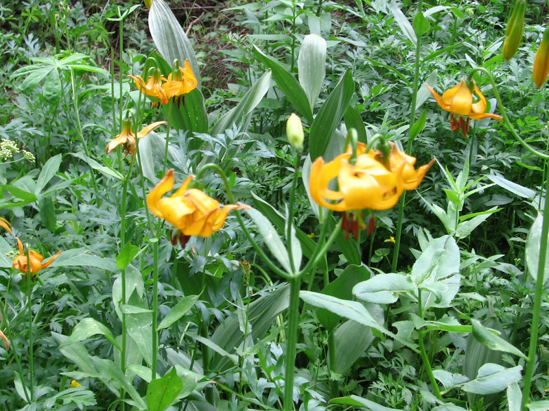 Another example of the profusion of tiger lilies we saw.