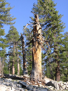 In the alpine reaches of the Sierra, there are occasional dead or dying remains of trees of quite astonishing size and sculpted beauty.