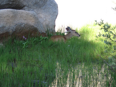 A female Mule Deer along the southern shore of the main lake. It stayed in this location for quite a while and may have been sick or injured (or ready to give birth?)