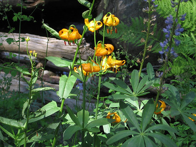 A close-up view of some of the stream-side tiger lilies and lupine.