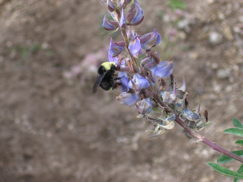 Somewhat clearer view of the same bumblebee. Very industrious!