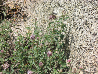 Another shot of one of those butterflies which blends perfectly with the Sierra granite.