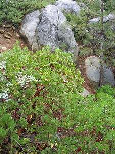 Trailside manzanita.