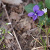 Violet and Spring Beauty