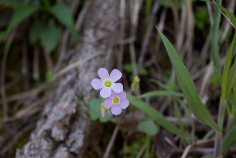 Violet Wood-Sorrel
