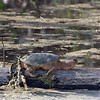 Big snapping turtle sunning himself in the old swimming hole in Old Siloam.