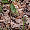 Prairie Trillium and Rue-Anemone
