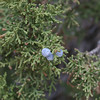 A berry on a Utah Juniper tree.