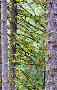 Heavy moss decorates Oregon trees.