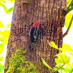 A Sapsucker works on a familiar tree.