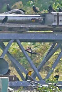 Yellow-headed Blackbirds (♀)