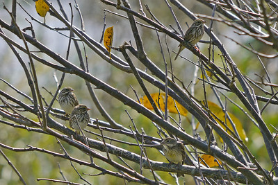 3 Savannah Sparrows (left and top) with Dickcissel (bottom right)