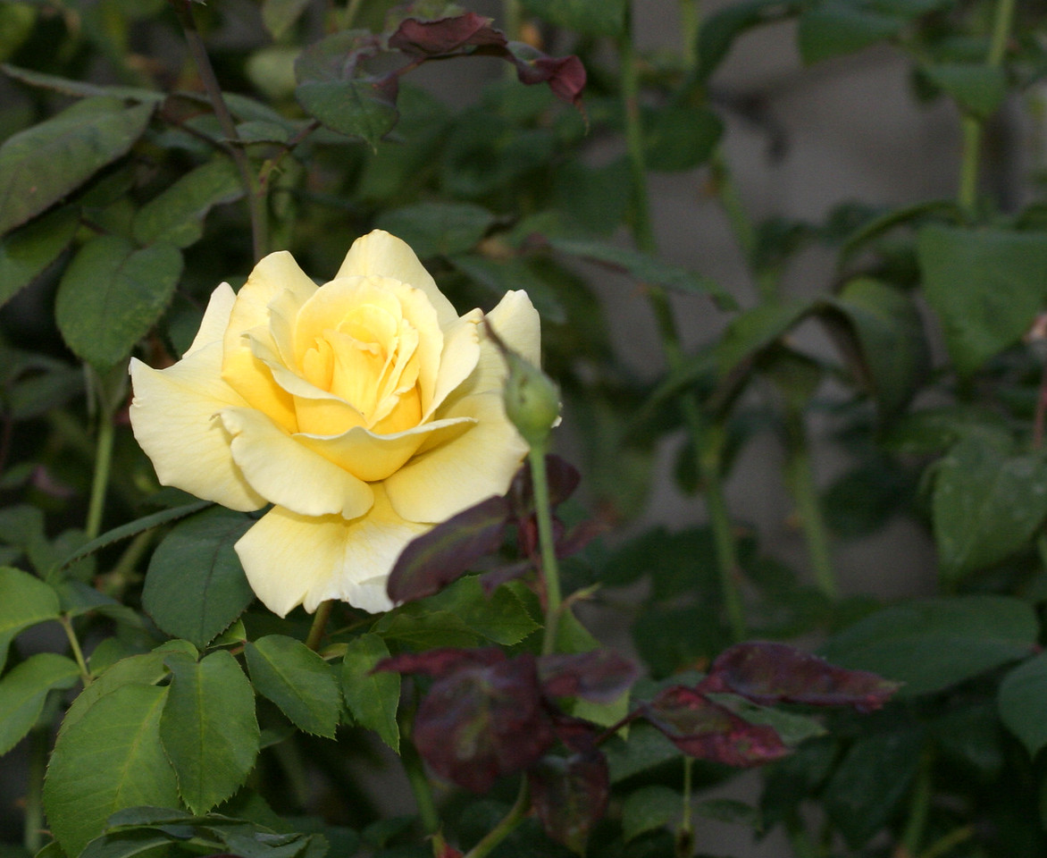 A yellow rose hiding out.
