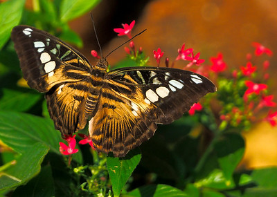 Singapore Butterflies