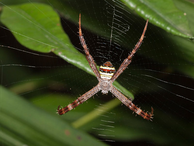 Argiope versicolor, the Multi-Colored St. Andrews Cross Spider.  About 12 mm, and very pretty.