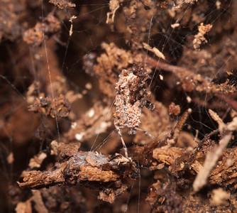 Portia labiata in the wild