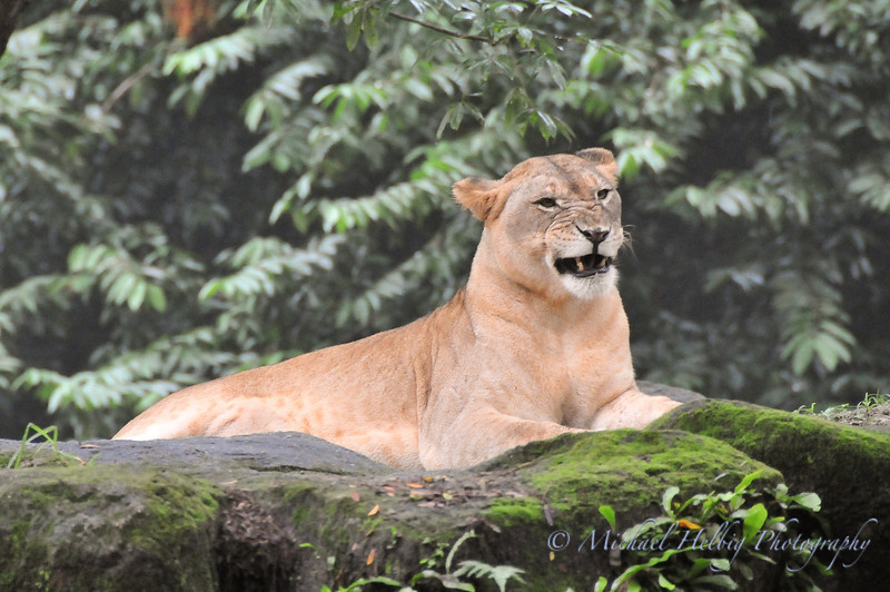 Singapore Zoo - Lioness