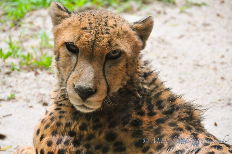Singapore Zoo - Cheetah