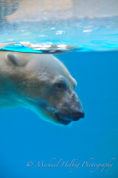 Singapore Zoo - Polar Bear