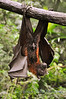 Singapore Zoo -  Fruit Bat
