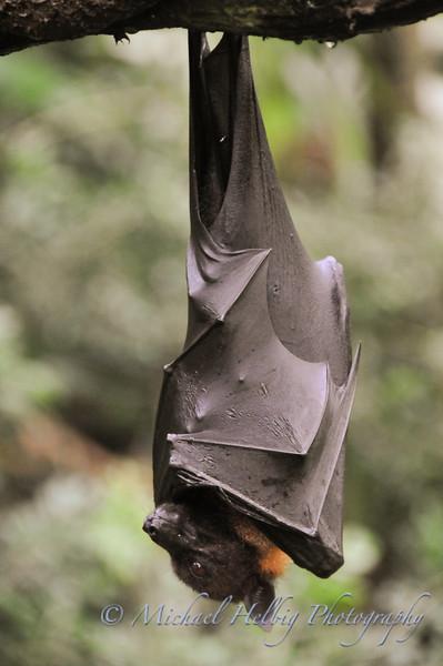 Singapore Zoo - Fruit Bat