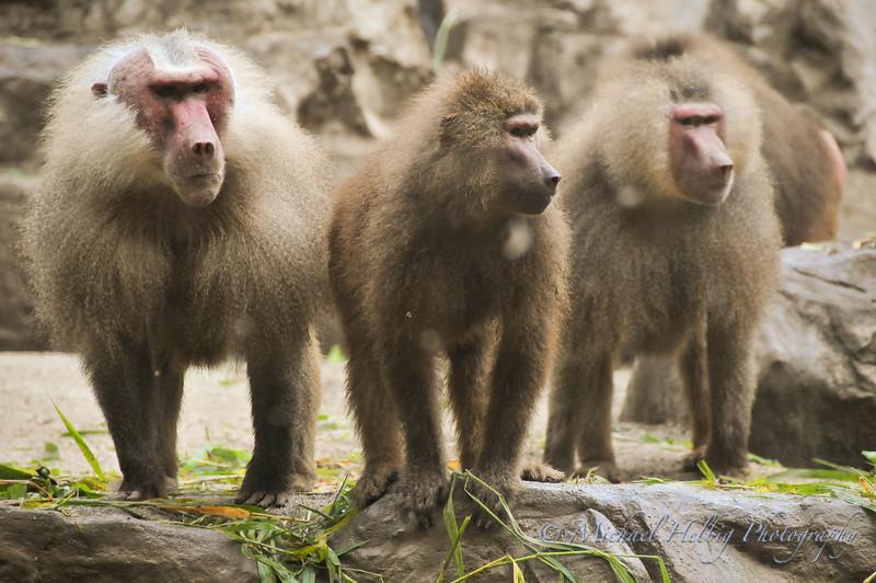 Singapore Zoo - Baboons
