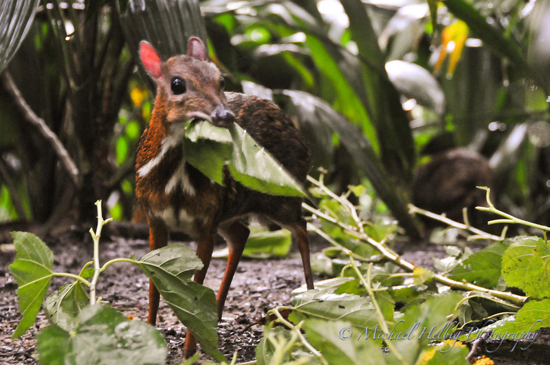 Singapore Zoo - Mouse Deer